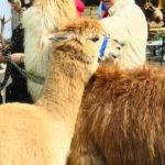 Lama Juan und Alpaca Ancharez sind unzertrennlich