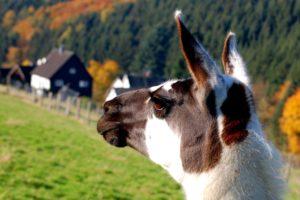 Tour Natur –ein Lama vom Balsamhof