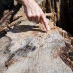 Finger zeigt auf Jahresringe eines Baumstumpfes