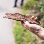 Hand hält abgefallene Rinde mit Borkenkäferschäden