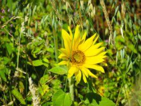 gelbe Blume in grünem Gras