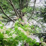 Blick nach oben in einen blühenden Baum