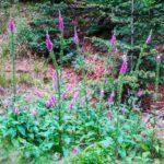 Lupinen im Wald