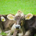 kühe liegen auf der Wiese