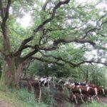 Kuhherde unter ausladendem Baum